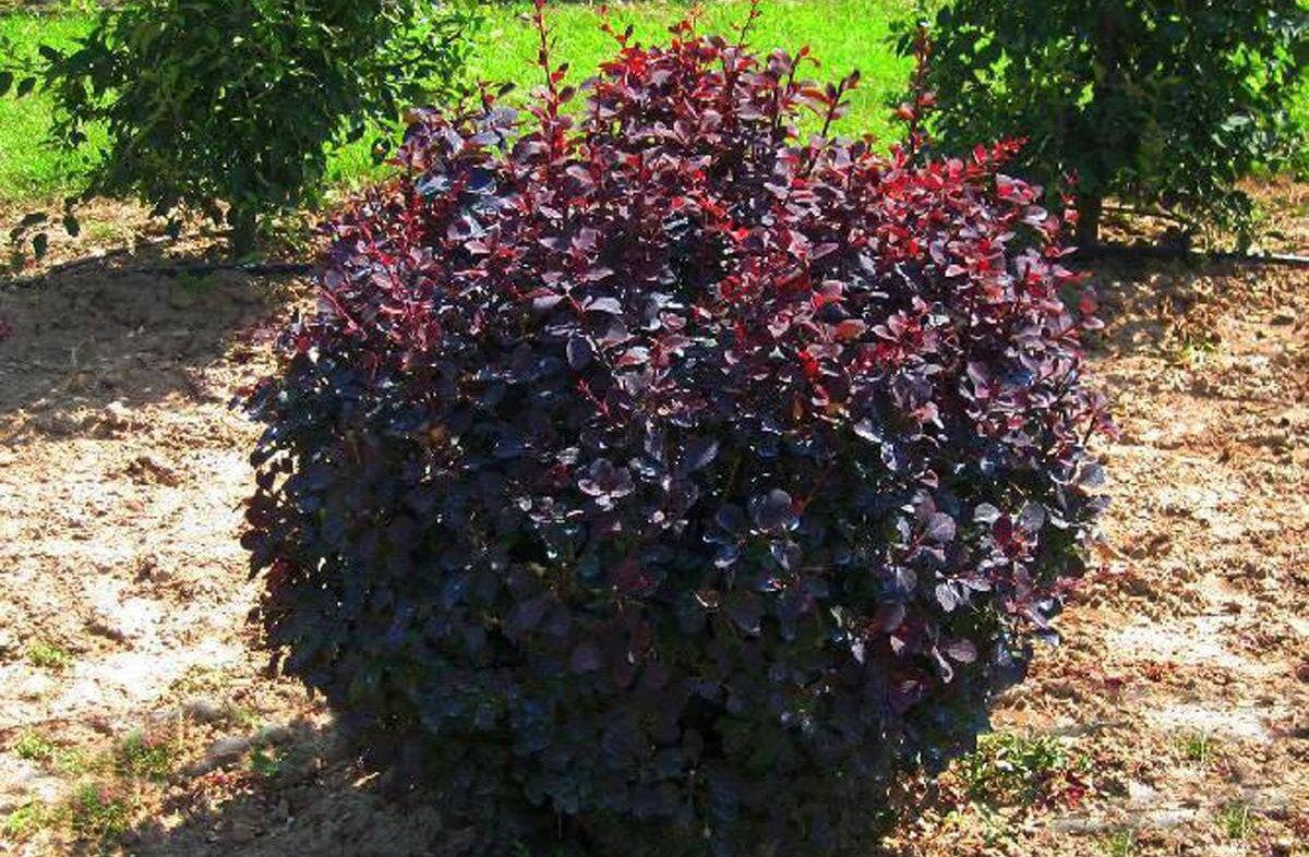 эфире кусты с красными листьями фото и названия даже малейшие